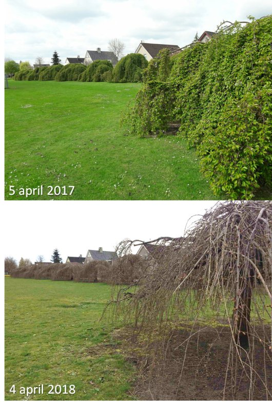 GrowApp-foto's van prunus op 5 april 2017 en 4 april 2018. Klik op de foto om de hele time-lapse video te bekijken (Bron: GrowApp.today)