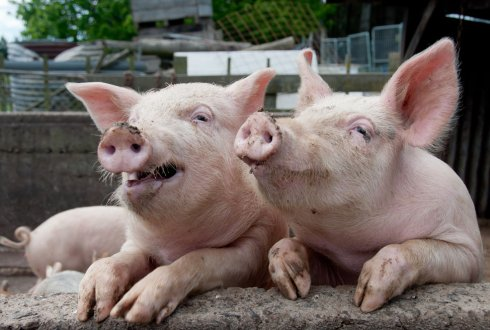 Non-genetic variance in pigs: genetic analysis of reproduction and production traits