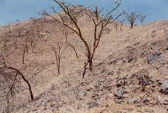 Boswellia tree in the landscape, Eritrea. (© Woldeselassie Ogbazghi)
