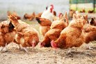 Avian influenza H3N1 not detected in the Netherlands