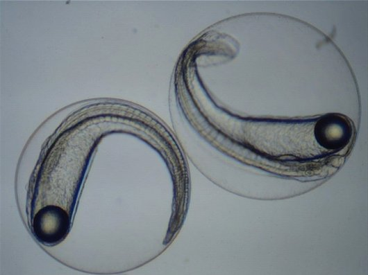 Scientists from Wageningen University & Research share experiences and collaborate in the International Eel Reproduction Innovation Centre in an effort to close the eel life cycle in aquaculture. Photo: Pauline Jéhannet