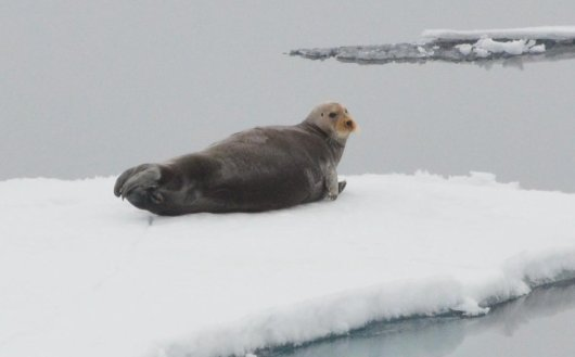 Bearded seal (Photo Susanne Kühn).