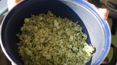 These are our hops, harvested and dried at the student farm