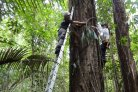 One percent of tree species in the Amazon forest account for half of its carbon