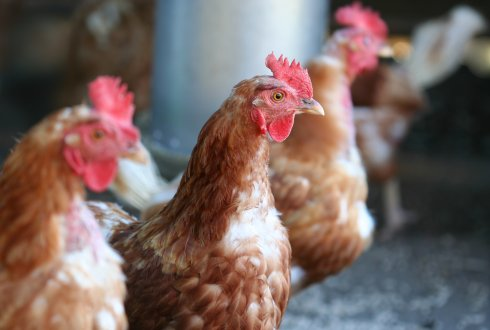 Course Nutrition and (hot) climate in poultry
