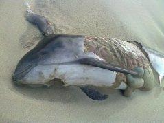 Verminkte bruinvis, aangespoeld bij Ouddorp (ZH), 18-09-2012 (Foto: Cees van Hoven)