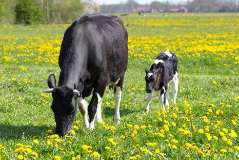 Biomarkers and mechanisms of natural disease resistance in dairy cows