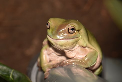 Litoria caerulea (Photo: Julian K.A. Langowski)