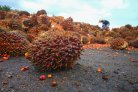 Indonesian palm oil for biodiesel rarely sustainable