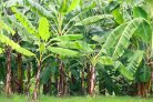 Better disease management in the global banana sector