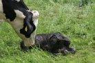Stikstof en fosfaat beter benut op Koeien &Kansen bedrijven