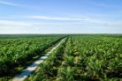 Oil palm (Elaeis guineensis) production in Indonesia: carbon footprint and diversification options