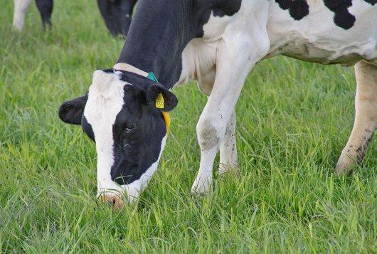 Graasmotivator: Bijvoeding hoogproductief melkvee met weidegang