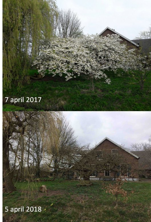 GrowApp-foto's van een prunus op 7 april 2017 en 5 april 2018. Klik op de foto om de hele time-lapse video te bekijken (Bron: GrowApp.today)