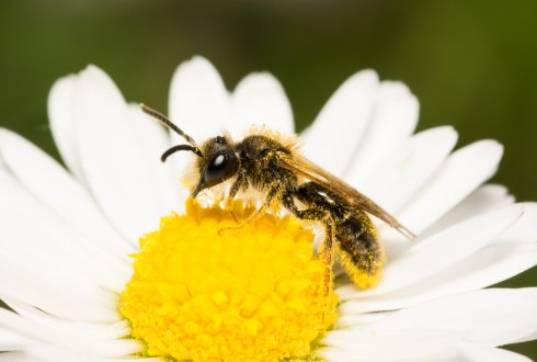 Museum research: wild bee decline partly due to loss of flowers