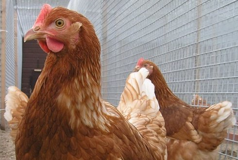 Wageningen updates the nearly twenty-year-old amino acid requirements of laying hens
