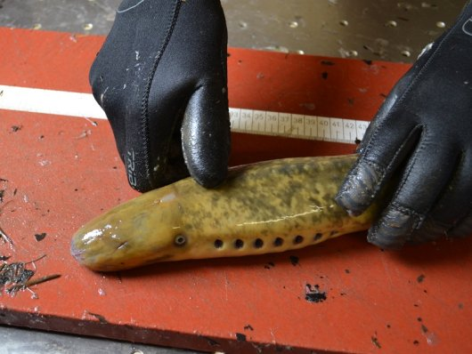 A sea lamprey is caught during sample taking. This species is typical for the Scheldt Estuary.