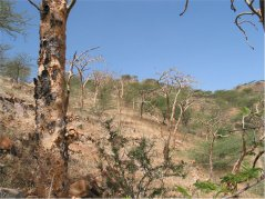 Boswellia tree in the landscape, Eritrea. The black spots on the bark are former tapping points. (© Frans Bongers)