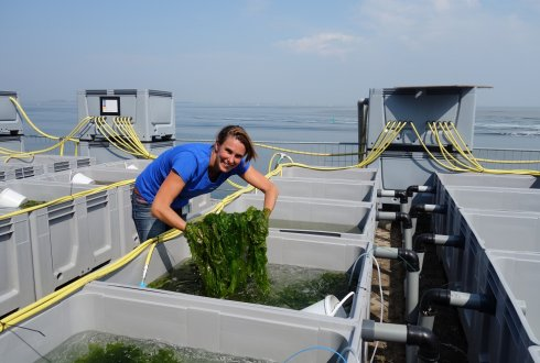 Seaweed farming in wind farms