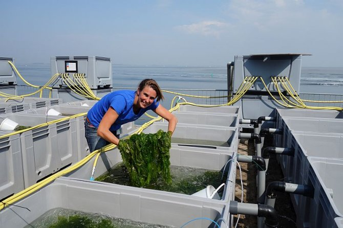Wageningen University & Research combines available knowledge in seaweed biotechnology with reliable eco-friendly tools to scale op seaweed operations and boost the blue biobased economy. Photo: Marit Nederlof