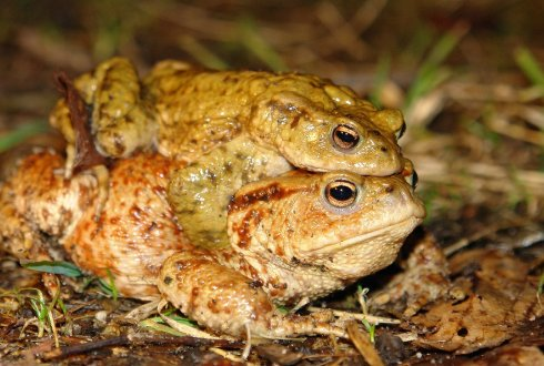 How effective are toad tunnels?