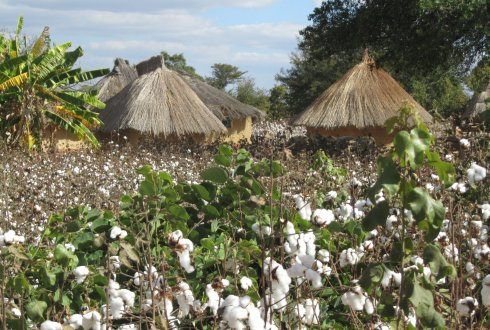 Cash crops, such as coffee, cocoa and cotton, provide farmers with income and therefore enhance food security