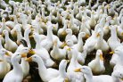 New type of bird flu called H5N6 discovered in the Netherlands in 2017