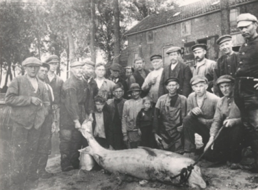 1917, bycatch in commercial salmon fisheries in the Rhine River Delta of a large adult European sturgeon female. The fish a small village.
