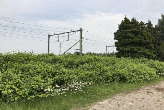 Japanse Duizendknoop: grondstof voor biobased producten?