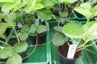 Mycorrhiza for fighting Phytophthora in strawberries