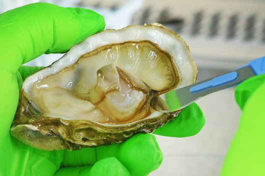 Analysis of norovirus in shellfish