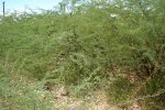 Prosopis invasion in a previously bare ground along the Turkwel river in Turkana district, Kenya
