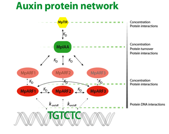 Figure 2: Schematic representation of the auxin protein network. In this project, we will use Marchantia polymorpha and experimentally determine protein concentrations, protein turnover rates, dissociation constants of protein interactions and binding rates of MpARFs to auxin responsive element (e.g. TGTCTC) to obtain a quantitative view of the auxin response network. These parameters will be used for generating a mathematical model to identify critical factors within this protein network. Finally, the predicted parameters will be validated experimentally through expression levels of target genes.