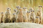 Vicky did her thesis on pedigree construction in meerkats