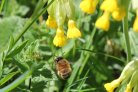 Hairy-Footed Flower Bee Anthophora plumipes  in search for pollen and nectar amidst common cowslips Primula veris