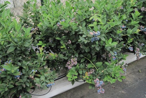 Soilless cultivation of blueberry