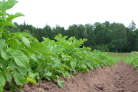 Precision application of nitrogen in potato farming using drones
