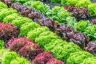 Nonhost wild lettuce as a donor for resistance to downy mildew in cultivated lettuce