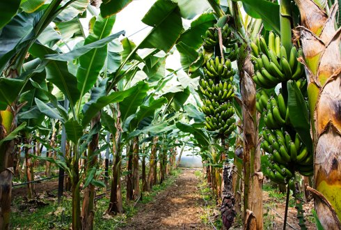 The origin, versatility and distribution of azole fungicide resistance in the banana black Sigatoka pathogen Pseudocercospora fijiensis
