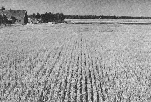 Fieldstation 'the Sinderhoeve' june 24,1959. On the foreground an irrigation experiment whith oats. Some spots in the field shows the effects irrigation experiments.