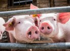 Using organoids to unravel feed efficiency in pigs