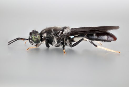 The black soldier fly, Hermetia illucens