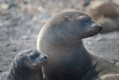 Plastic litter and fur seals in Antarctica