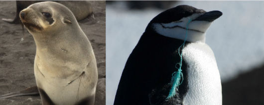 Photo 3: Left photo: Antarctic fur seal female entangled in a nylon fishing rope (photo: Piet-Wim van Leeuwen). Right photo: Chinstrap penguin with half ingested rope (photo: Wiley Archibald)
