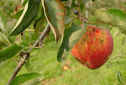 Biological control product against apple scab is just a matter of time