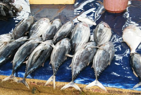 Helping the tuna and the fisheries