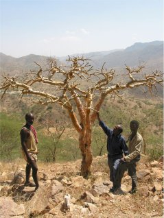 Boswellia tree in the dry period, with frankincense researcher Dr Woldeselassie Ogbazghi (middle) and two local farmers that also tap trees for frankincense. (© Frans Bongers)