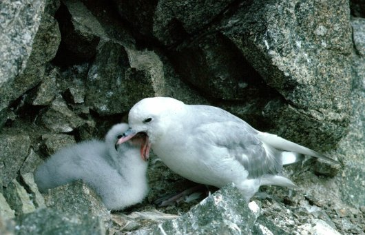 The Southern Fulmar (Fulmarus glacialoides) is a close relative of the Northern Fulmar, which we study intensively around the North Sea for monitoring of plastic ingestion (see link below). It's the most common petrel on Ardery Island.