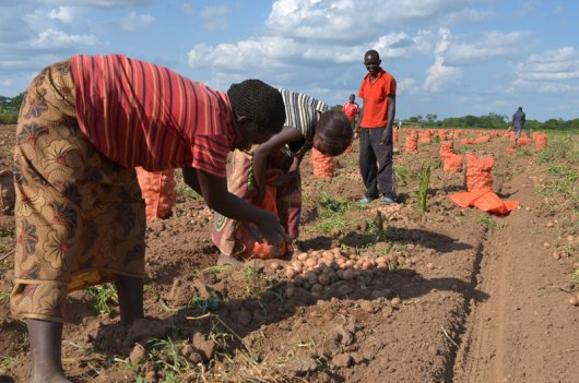 Due to the level of investment requred, it seems a better option for farmers in East Africa to improve the selection of their own seed potatoes