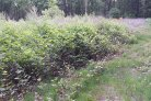 Heating Soil Successful in Combatting Japanese Knotweed